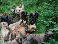I can't imagine the fun this would be...so many Cairn terriers!