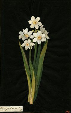Mary Delany, Narcissus collage, 1776