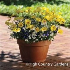 YOU'RE SO FRESH - Set of 3 Trio planted pots includes Osteospermum 'Voltage Yellow', Diascia 'Romeo White', Lobelia 'Waterfall Blue'. Container Flowers, Flower Planters, Container Plants, Container Gardening, Flower Pots, Flower Ideas, Patio Plants, Outdoor Plants, Potted Plants