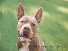 Ready or not, here I come! My name is Batman. I'm a fun-loving ball of energy ready to wiggle my way right into your heart. I am a neutered male, fawn and white American Staffordshire Terrier mix and I am about 2 years and 3 months old. (ID#A076317)