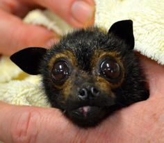 Flying bat baby rescued