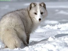 The Arctic fox has the warmest fur of all mammals, even warmer than those of the polar bear and the Arctic wolf. Arctic Animals, Arctic Fox, Animals And Pets, Baby Animals, Cute Animals, Arctic Tundra, Wild Animals, Vida Animal, Mundo Animal