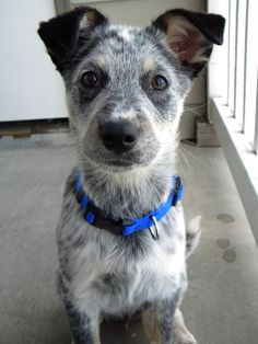 Blue Heeler/Border Collie Mix Puppy