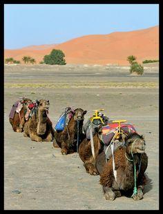 Camels in the Desert Sahara Marokko