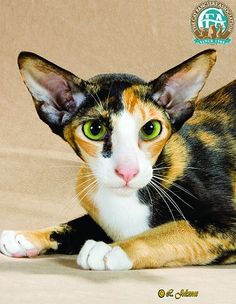 Oriental shorthair....comes in all kinds of colors!!