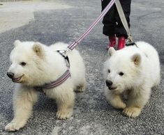 no big deal just walking my pet polar bears