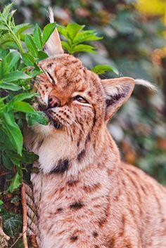 Lovely marking lynx by Tambako the Jaguar, via Flickr