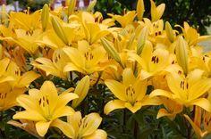 Lilie - pěstování lilií na zahradě a v nádobách Yellow Perennials, Love Is Sweet, Plants, Lilies, Lawn And Garden, Flora, Plant