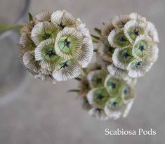 scabiosa-pods not necessary but would add an interesting touch to bouquet