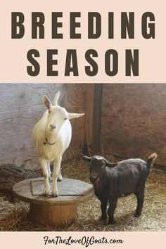 Rather than waiting for spring and wondering why your goats didn't get pregnant, now is the time to get your ducks in a row -- er, um, goats! In this solo episode I'm talking about all of the things you need to consider during breeding season. #goatpodcast #breedingseason #goatbreeding #raisinggoats Breeding Goats, Goat Shelter, Nubian Goat, Nigerian Dwarf Goats, Raising Goats, Baby Goats, Livestock, Ducks, Homesteading