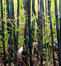 Black Bamboo - design realpalmtrees.com - #Fall #palmtreelandscape #cool #palms #palmTrees  #fallwinterIdeas #plants buy palm trees #DIYIdeas #TropicalYardIdeas #texas #realpalmtrees #california #florida