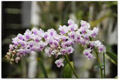 Aerides odorata é uma espécie de planta das Orchidaceaes .  http://sergiozeiger.tumblr.com/post/99810081698/aerides-odorata-e-uma-especie-de-planta-das  É encontrada em grande parte do Sudeste da Ásia , nas florestas de várzea da China ( Yunnan , Guangdong ), Himalaias , Butão, Assam , Bangladesh , Índia , Nepal , Andaman e Nicobar , Mianmar , Tailândia , Laos , Camboja , Vietnã , Peninsular Malásia , Bornéu , Sumatra , Java , Sulawesi , as Ilhas Lesser Sunda , e Filipinas .
