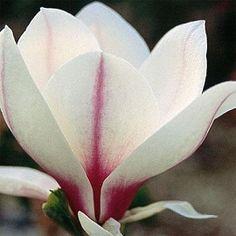 Magnolia 'Picture'