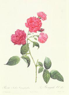 Pierre-Joseph Redoute   Rosa Indica Caryophyllea