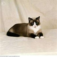 Snowshoe Cat. Gorgeous.