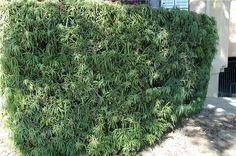 HG Drought Tolerant Hedge Ideas On Pinterest Hedges