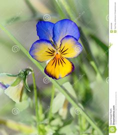 purple and blue pansy plant | Pansy Flower Royalty Free Stock Images - Image: 29945289