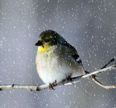 Goldfinch in the snow.    |Photo by ~Shelly Moses~ January 9 2009|