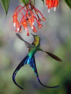 A violet-tailed sylph hummingbird in Ecuador's Tandayapa Valley..