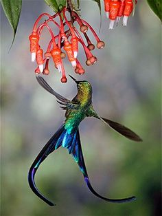 A violet-tailed sylph hummingbird in Ecuador's Tandayapa Valley..
