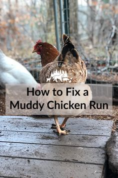 Are you tired of muddy eggs, messy coop floors and slippery chicken run? Here are helpful tips and solutions to cleaning up your coop to stop a muddy chicken run and have clean chickens on your homestead or your backyard chickens. Chicken Roost, Chicken Coop Run, Chicken Pen, Chicken Garden, Backyard Chicken Coops, Building A Chicken Coop, Chicken Lady, Farm Chicken, Chicken Feeders