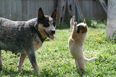 Australian working dog rescue