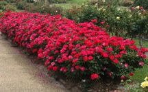 Double knockout rose hedge red