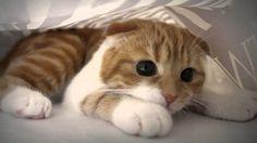 Scottish Fold kitten as like cute and beautiful cat breeds. Make them as your favorite pet's. Gato Munchkin, Cute Kittens, Cats And Kittens, Flat Faced Cat, Scottish Fold Kittens, Kitten Breeds, National Pet Day, Mundo Animal, Cat Wallpaper