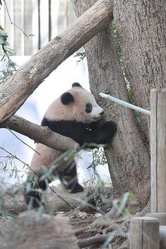 今日のパンダ(2065日目) | 毎日パンダ