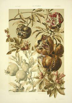 """""""Pomegranates"""" from Anton Seder Die Pflanze Art Nouveau Prints 1890"""