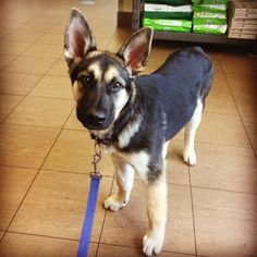 Jasper is such a handsome boy. he had a rough start though. As a little puppy he was suffering from mange, but quickly recovered with treatment. Now he's feeling really well, and is full of energy. #puppyvaccinations #millwoodseastpets #edmontonvet #germanshepherddog