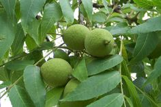 Black Walnuts: How To Crack And Cook With Nature's Toughest Nut