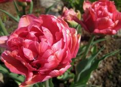 """Double Delight Daffodil 