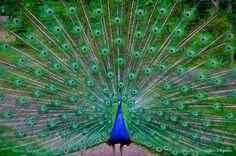 Peacock by Hendri Sugiarto, via 500px