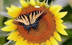 Vlinder op een zonnebloem