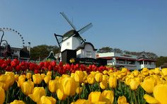 los tulipanes, el molino