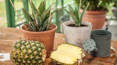 Eine Gießkanne steht neben zwei Ananaspflanzen.