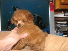 Toy Poodle breeder of Red, Chocolate Brown and Blacks for the Confirmation Show Ring or companionship located in Boise, Idaho. Tiny Toy Poodle, Shitzu Puppies, Poodle Puppies For Sale, Poodle Mix, Toy Poodles, Mini Poodles, Bear Dog Breed, Dog Breeds, Blowin' In The Wind