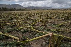 Puerto Ricos Agriculture and Farmers Decimated by Maria FRANCES ROBLES and LUIS FERRÉ-SADURNÍ Hurricane Marias barrage took out entire plantations and destroyed crops and livestock across the island. The storm knocked out about 80 percent of its crops. Puerto Rico, Santa Cruz Island, San Francisco Earthquake, World Conflicts, Wipe Out, Natural Disasters, Science And Nature, Picture Show, Agriculture