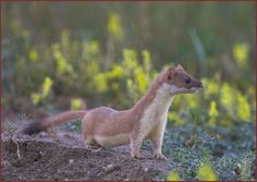 Weasel With Long Tail