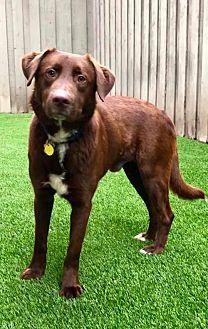 Dallas Tx Labrador Retriever Meet Charlie A Pet For Adoption Labrador Retriever Labrador Pet Adoption