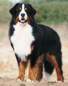 Bernese Mountain Dog (Berner Sennenhund) - large breed of dog from the Swiss Alps. This mountain dog was originally kept as a general farm dog for guarding property and to drive dairy cattle long distances from the farm to the alpine pastures. In the past they were also used as draft animals, pulling carts.