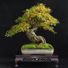 Bonsai More At FOSTERGINGER @ Pinterest ⛵️❤️️