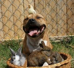 A dog hangs out with a chick and some bunnies