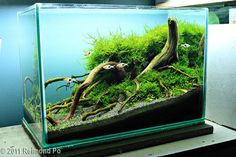 Tank Size	51 x 25 x 30 cm (20 x 9.8 x 12 in)  Volume	38L (10 gallons)  Lighting	1x 36w PL  Filtration	Hang-on filter  Additional  Information	Pressurized Co2   Title	Mangrove  Plants	Spiky moss, Willow moss, Marsilea hirsuta, UG (small clumps)  Fish/Animals	Rasbora Espei, Shrimps, Pipefish  Decorative  Materials	Mangrove, Volanic Black sand