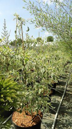 cornus alternifolia variegata