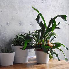 Another gloomy day ☁️☁️🌧☔️🌫 gladly indoor jungles with green friends are always there 💚 #botanicalpickmeup #gloomyday  #botanic #aloe #macrameplanthanger #macrame #makrama #makerslife #indoorjungle #indoorgarden #indoorplants #foliage #greenyourfeed #plantmom #plantsmakepeoplehappy #plantsarefriends #plantlife #plantbased #simpleliving #staghorn #rainy #warsawjungle #plantparenthood #rekodzielo #etsyseller #etsyshop #bohohome #gypsystyle