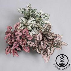 Discover the Splash Series Hypoestes house plant seeds at True Leaf Market Seed Company. Find a huge selection of decorative and ornamental house plant and flower seeds. Potted Plants, Garden Plants, Indoor Plants, Growing Flowers, Planting Flowers, Saintpaulia, Pink Plant, Ornamental Plants, Flower Seeds