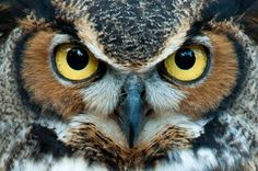 This great horned owl means business. (Photo: jadimages /Shutterstock) | MNN