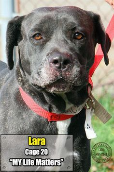 URGENT!!  THIS IS A KILL SHELTER SO PLEASE SHARE SWEET LARA TO GET HER SAFE!!~~Release date 11/2.  $86.00 fee includes OH license, DA2PP, Bordetella vaccine, Hw testing, Worming and spay/neuter.  Flea treatment will be provided if fleas are noticed.  All dogs will be spayed/neutered and micro chipped before leaving the pound...